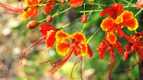 Мед питья пчелы от pulcherrima Caesalpinia Стоковая Фотография
