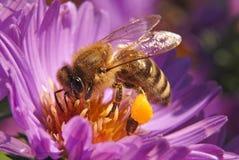 мед пчелы Стоковая Фотография RF