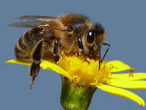 мед пчелы Стоковое Фото