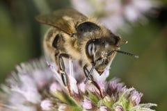 мед пчелы Стоковые Фото