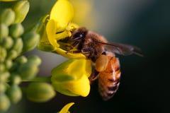 мед пчелы Стоковые Фотографии RF
