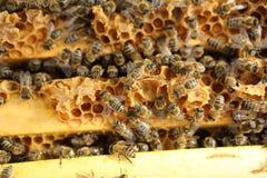 мед пчел стоковые изображения rf