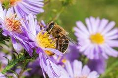 мед сини пчелы астры стоковые изображения
