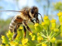 мед цветка пчелы Стоковые Фотографии RF