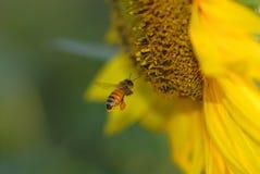 мед Стоковые Изображения