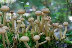 мед agaric близкий грибной вверх Стоковые Изображения RF