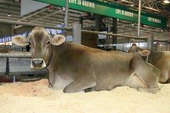 международная торговля 65th молокозавода скотин справедливая Стоковое Изображение RF