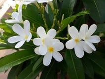 Между комплектом лист зеленого цвета белых цветков Стоковое фото RF
