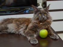 Мейн-енот с яблоком Стоковая Фотография