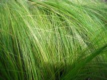 мексиканец травы пера стоковое изображение