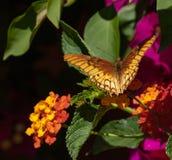 Мексиканец Silverspot на красочном кустарнике стоковое фото