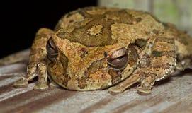 Мексиканец Treefrog Стоковая Фотография