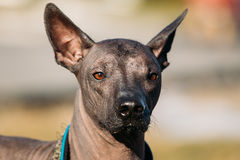 Мексиканская безволосая собака Xoloitzcuintli или Xolo Стоковые Фотографии RF