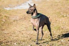 Мексиканская безволосая собака Xoloitzcuintli или Xolo Стоковая Фотография RF