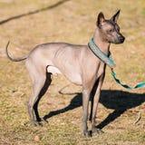 Мексиканская безволосая собака Xoloitzcuintli или Xolo Стоковое Изображение RF