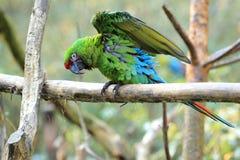 Мексиканская воинская ара стоковые фото