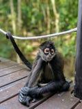 Мексиканская живая природа - обезьяна стоковые фото