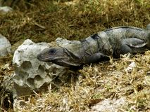 Мексиканская игуана Стоковое Фото