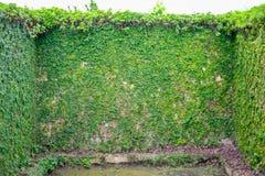 Мексиканская маргаритка или Coatbuttons на стене На ясный день Стоковые Изображения RF