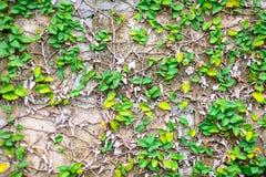 Мексиканская маргаритка или Coatbuttons на стене Стоковое Изображение