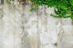 Мексиканская маргаритка или Coatbuttons на стене Стоковые Изображения RF