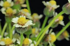 Мексиканская маргаритка растет в большую группу в составе цветки стоковое фото