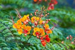 Мексиканская райская птица стоковая фотография rf