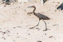 Мексиканская цапля птица пляж del carmen Юкатан 12 Стоковые Фотографии RF
