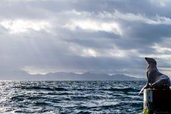 Мексиканские морсые львы Стоковые Изображения RF