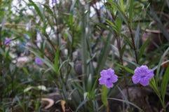 Мексиканские цветки пурпура петуньи Стоковая Фотография RF