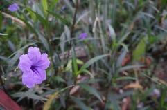 Мексиканские цветки пурпура петуньи Стоковые Изображения