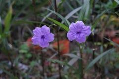 Мексиканские цветки пурпура петуньи Стоковое Изображение RF