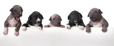 Мексиканские щенята xoloitzcuintle Стоковые Изображения