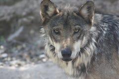 мексиканский волк стоковое изображение rf