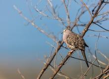 Мексиканский голубь Inca Стоковые Фотографии RF