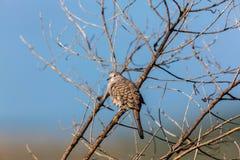 Мексиканский голубь Inca Стоковые Изображения RF