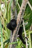 Мексиканский ревун/Palenque, Мексика Стоковое Фото