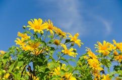 Мексиканский солнцецвет Стоковая Фотография