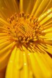 мексиканский солнцецвет Стоковое Изображение
