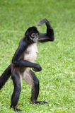 мексиканский спайдер обезьяны Стоковые Фото