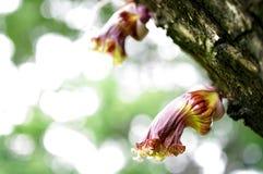 Мексиканский цветок калебаса, зацветает одичалая флора стоковая фотография