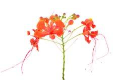Мексиканский цветок также c райской птицы Стоковые Изображения RF