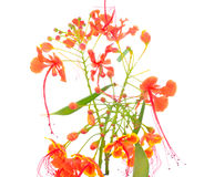 Мексиканский цветок также c райской птицы Стоковые Изображения