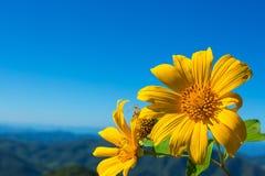 Мексиканский цветок tournesol с предпосылкой облачного неба стоковая фотография rf
