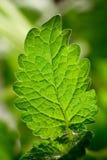 Мелисса листьев Стоковые Фотографии RF