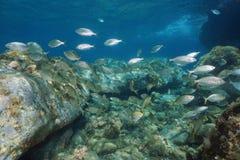 Мелководье леща моря среднеземноморской Франции рыб Стоковые Изображения