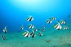 мелководье bannerfish Стоковые Изображения RF