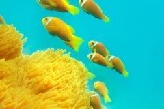мелководье clownfishes Стоковое Фото
