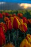 Мельницы adnd поля тюльпана старые в netherland Стоковые Фото