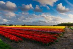 Мельницы adnd поля тюльпана старые в netherland Стоковое Изображение RF